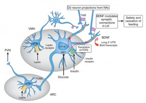 BDNF Brain-derived neurotrophic factor